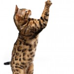 Bengal Cat catching Butterfly